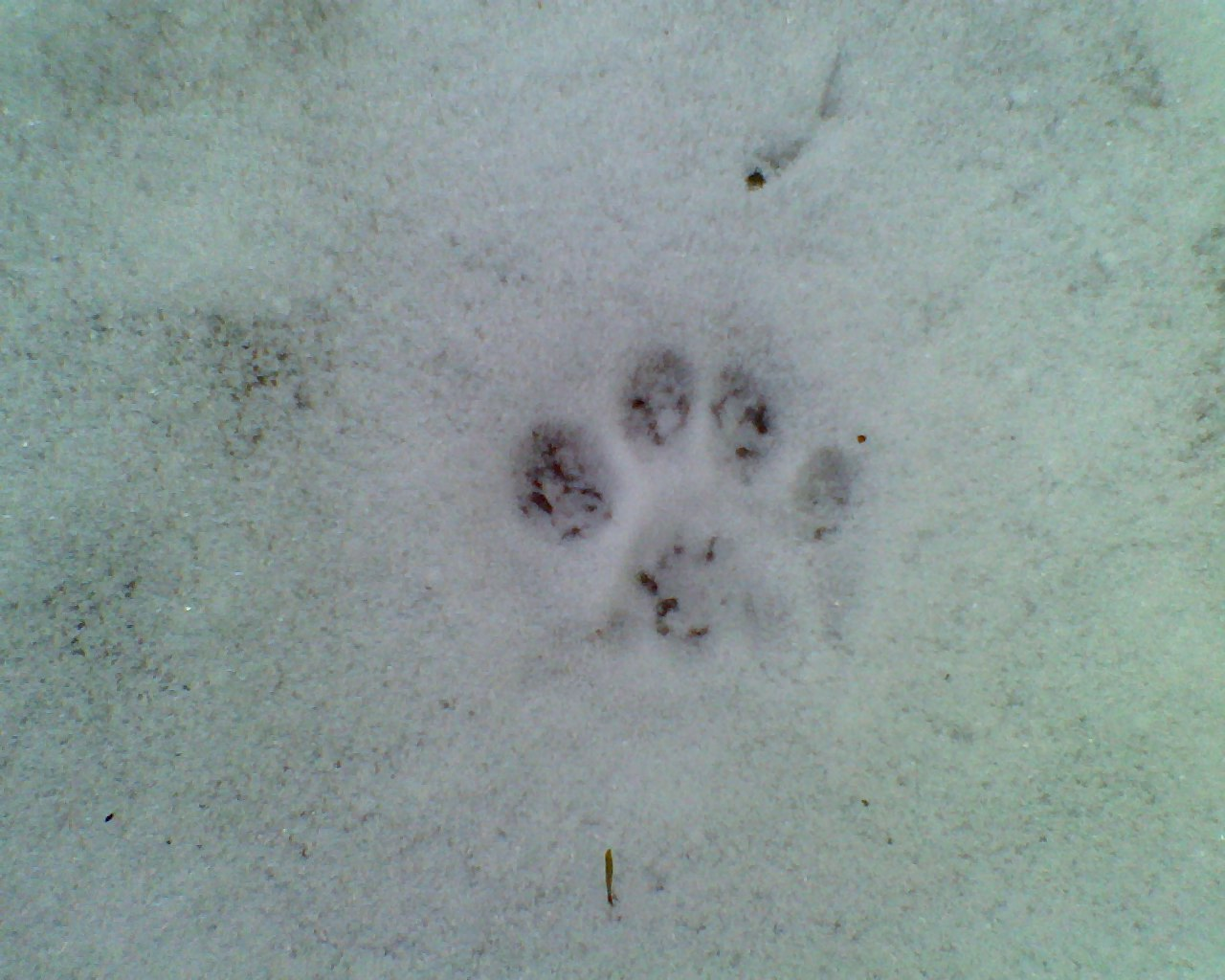 Fisher cat tracks